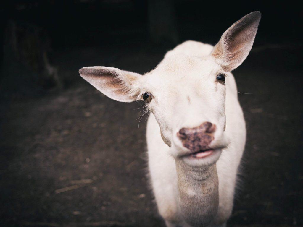 what is veganism - goat