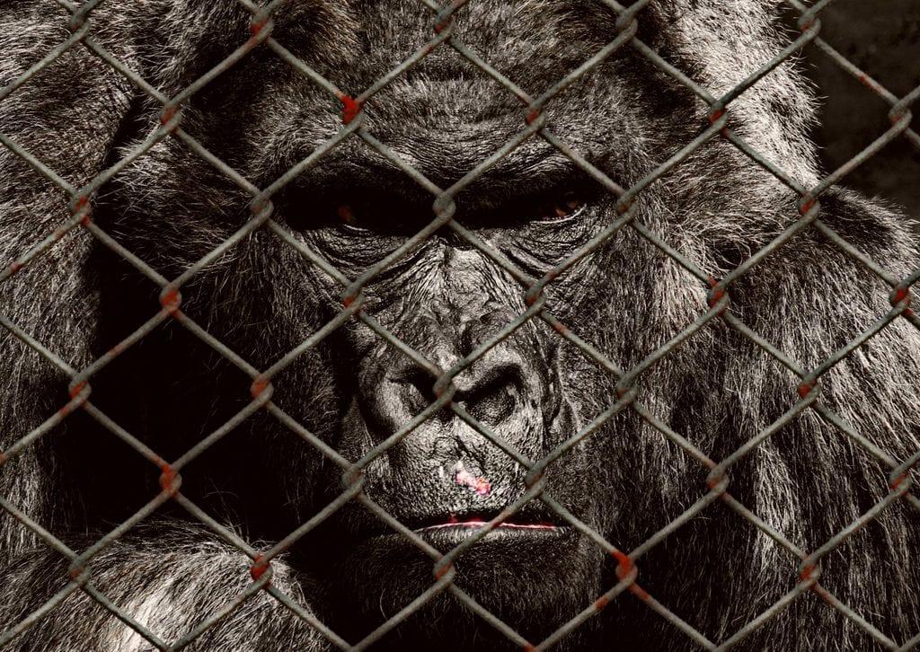Animal Entertainment - Gorilla at a Zoo