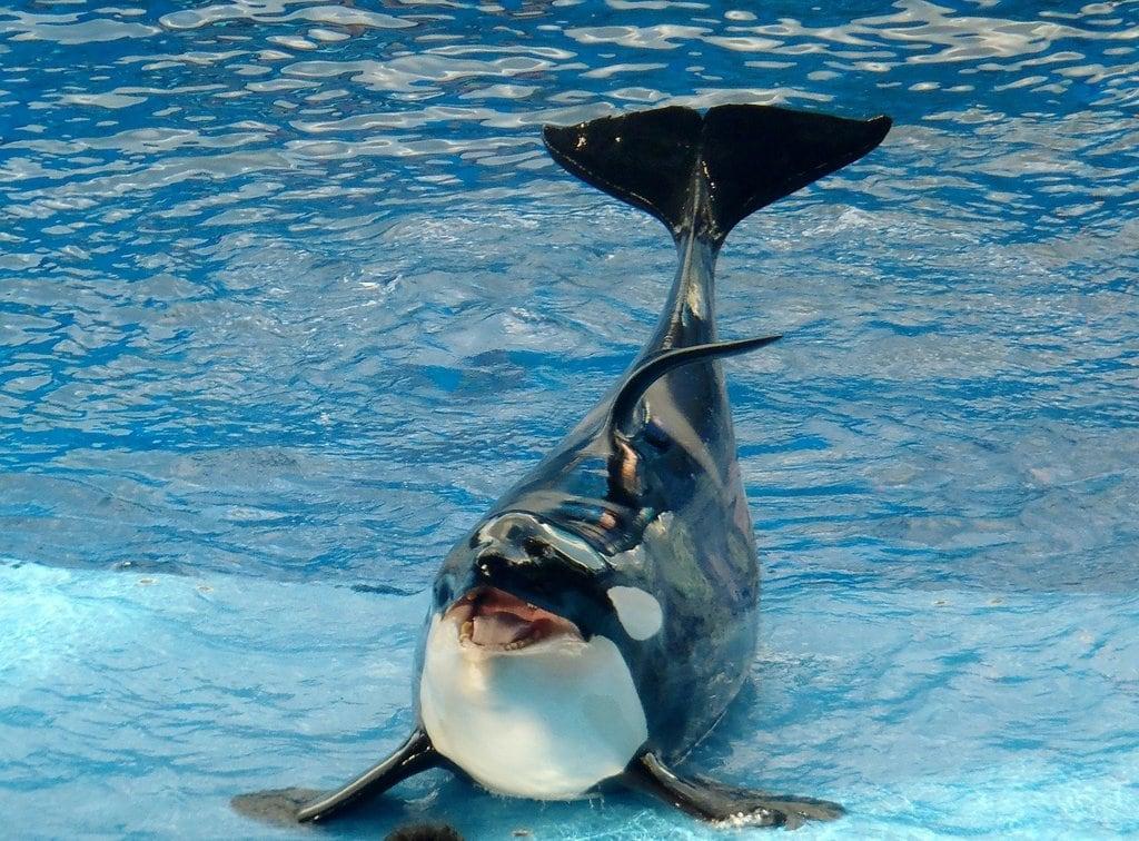 Animal Entertainment - Killer Whale